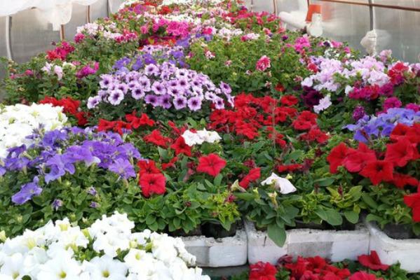 Что делать для пышного цветения