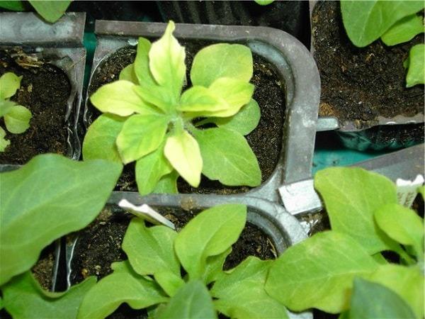 Проблемы выращивания петунии