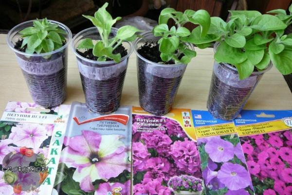 Сроки посева семян петунии на рассаду по Лунному календарю в 2019 году