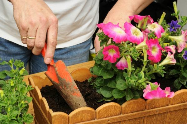 Когда сажать семена петунии, чтобы зацвела в мае