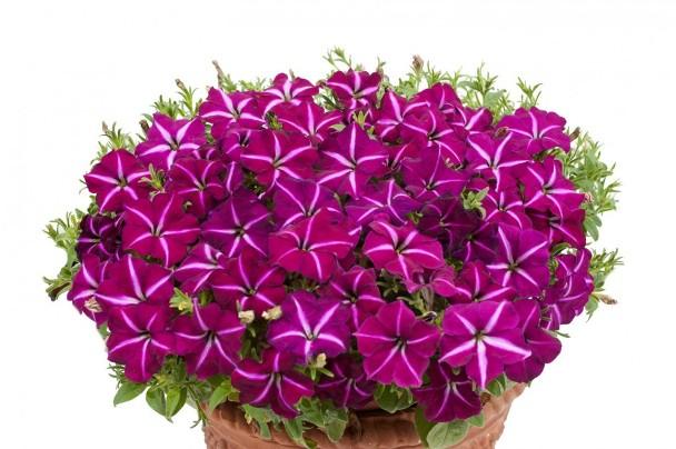 петуния джоконда f1 пурпурно-белая