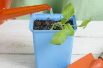 Как поливать рассаду петунии в домашних условиях Как часто поливать Видео