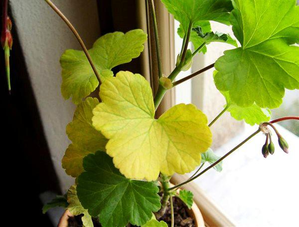 Почему герань вытягивается, и желтеют листья