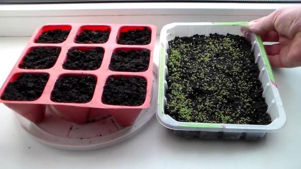 Посев лобелии