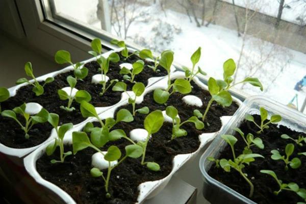 Какие условия нужны для хорошего роста рассады петунии