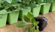 Как посадить петунию на рассаду правильно в домашних условиях Видео