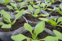 Чем подкормить рассаду петунии для роста, чтобы были толстенькие