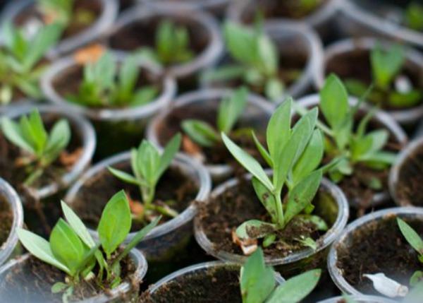 Оптимальные условия для выращивания рассады эустомы