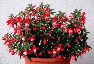 Фуксия: выращивание и уход в домашних условиях. Виды и сорта