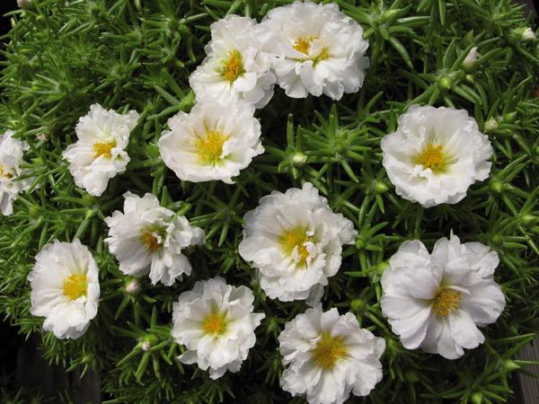 Белоцветковый