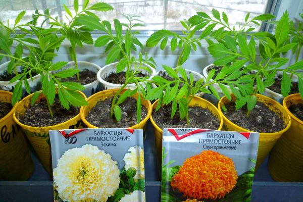 Ошибки цветоводов при выращивании рассады бархатцев