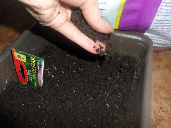Выращивание астры в контейнерах