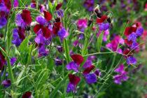 Душистый горошек: выращивание из семян. Виды и популярные сорта