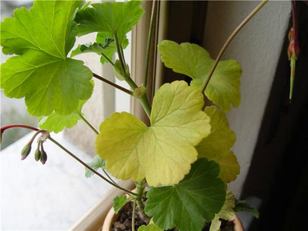 Почему у герани желтеют и сохнут листья?