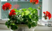 Герань - уход в домашних условиях для начинающих Размножение, цветение, Болезни Фото Видео