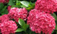 Гортензия садовая: посадка и уход в открытом грунте, размножение, обрезка Сорта Фото