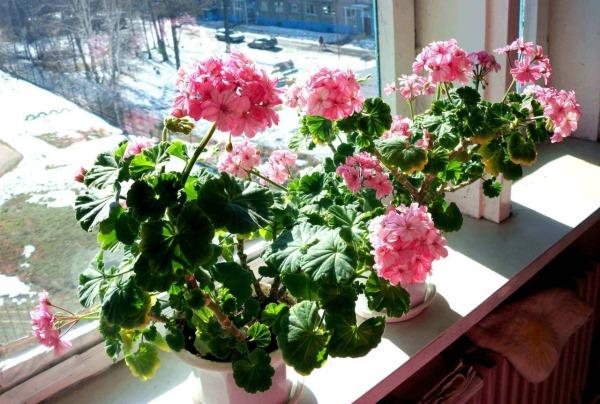 Какие условия нужны для роста и цветения герани дома