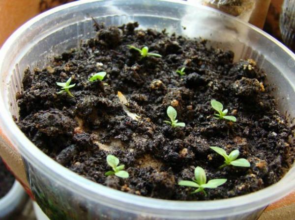 Проблемы выращивания эустомы